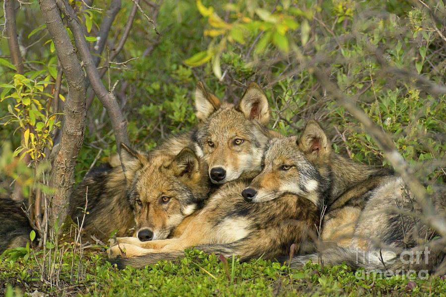 Mp Photograph - Timber Wolf Trio In Denali by Yva Momatiuk John Eastcott