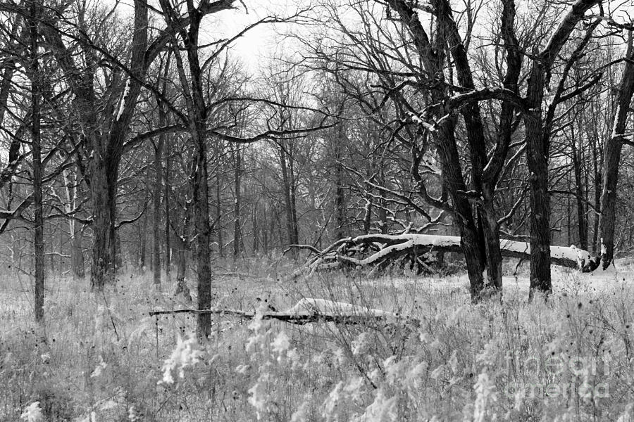 Illinois Photograph - Timberland Infrared No1 by Alan Look