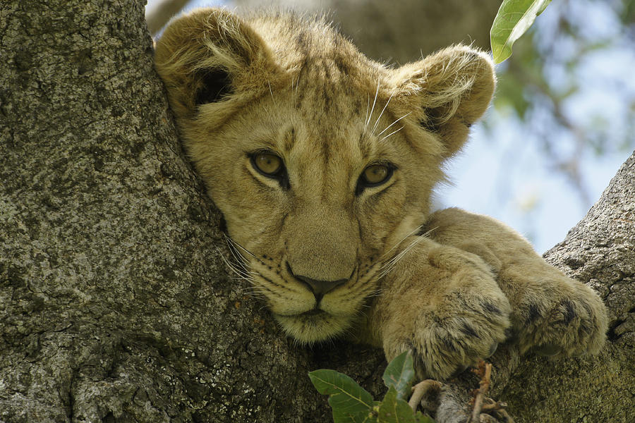 Africa Photograph - Time For A Nap by Michele Burgess