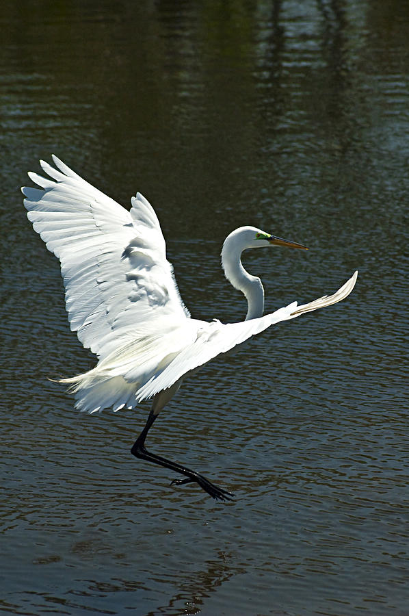 Great White Egret Photograph - Time To Land by Carolyn Marshall