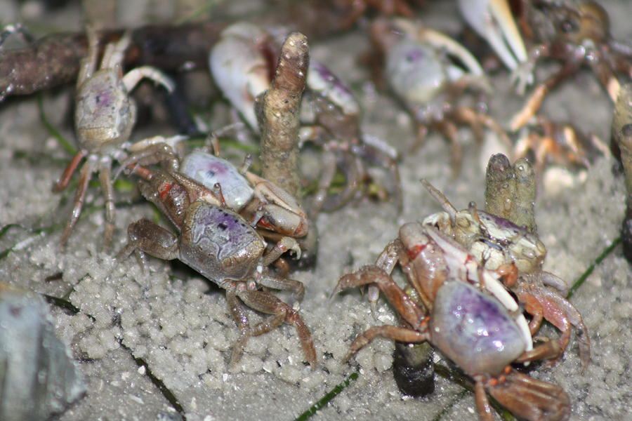 Nature Photograph - Tiny Crabs by Bradley Nichol