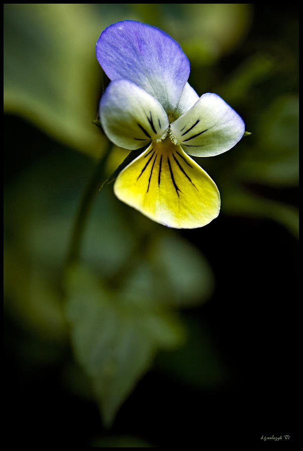Flora Photograph - Tiny Dancer No 1 by Daniel G Walczyk