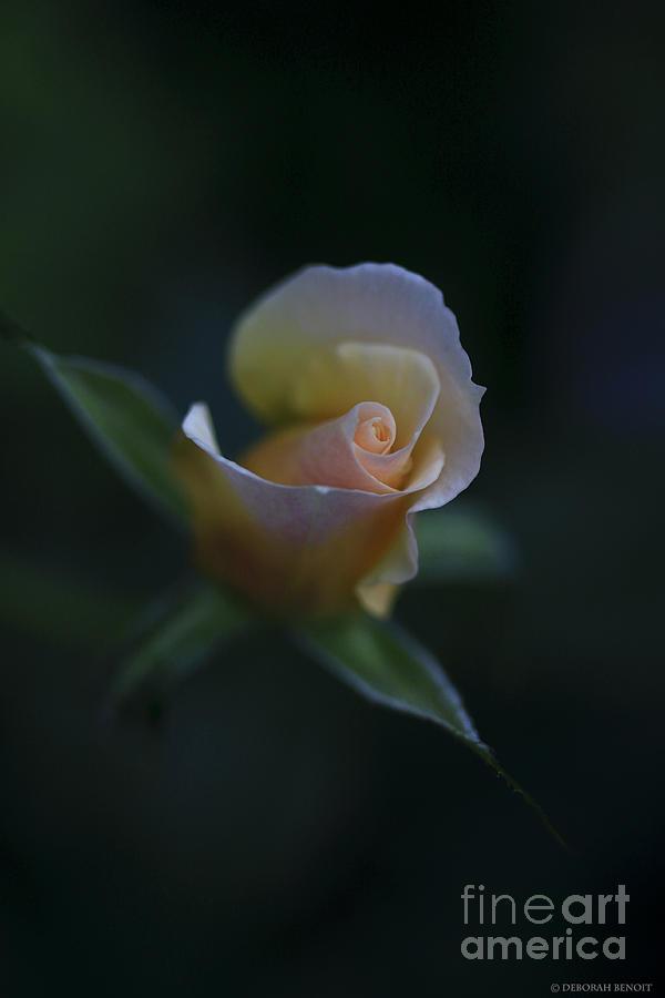 Flower Photograph - Tiny Pink Rosebud by Deborah Benoit