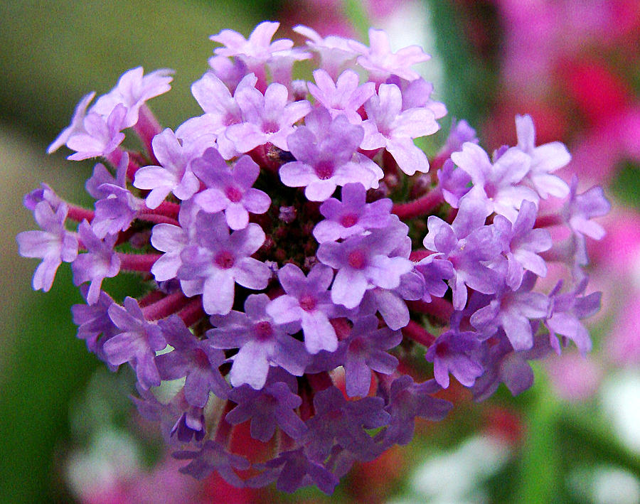 tiny purple flowers photograph by todd zabel, Beautiful flower