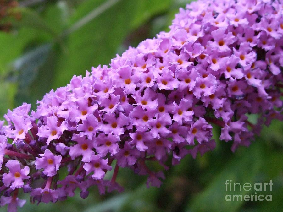 Purple Photograph - Tiny Purples by Deborah Brewer