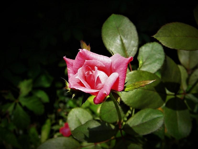Tiny Rose by Ken Bradford