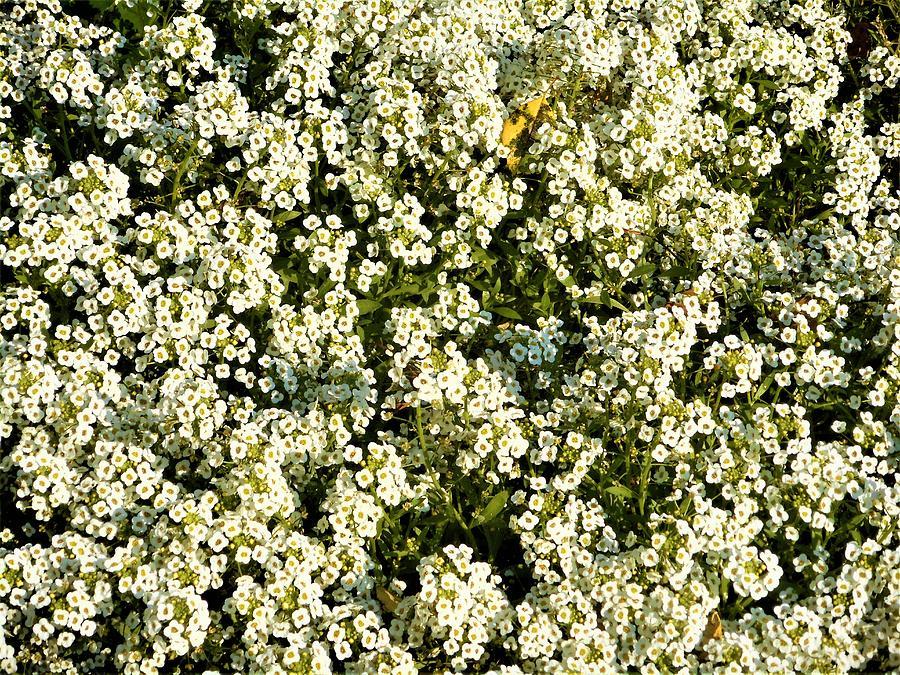 Tiny white flowers photograph by jenna monroe little photograph tiny white flowers by jenna monroe mightylinksfo