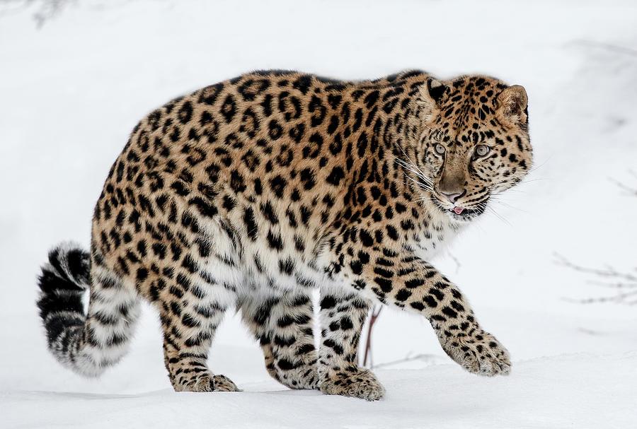 Leopard Photograph - Tip Toe Leopard by Athena Mckinzie