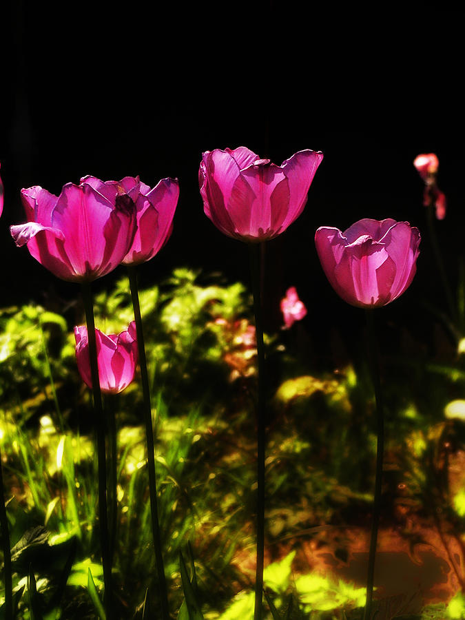 Tulips Photograph - Tiptoe Through The Tulips by Bill Cannon