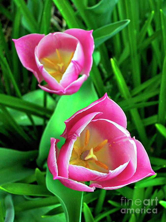 Artist Photograph - Tiptoe Through The Tulips by Jenness Asby