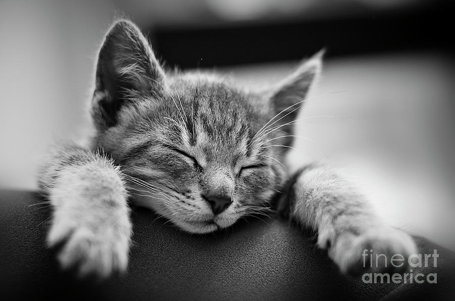 Cat Photograph - Tired .... So Tired by Alessandro Giorgi Art Photography