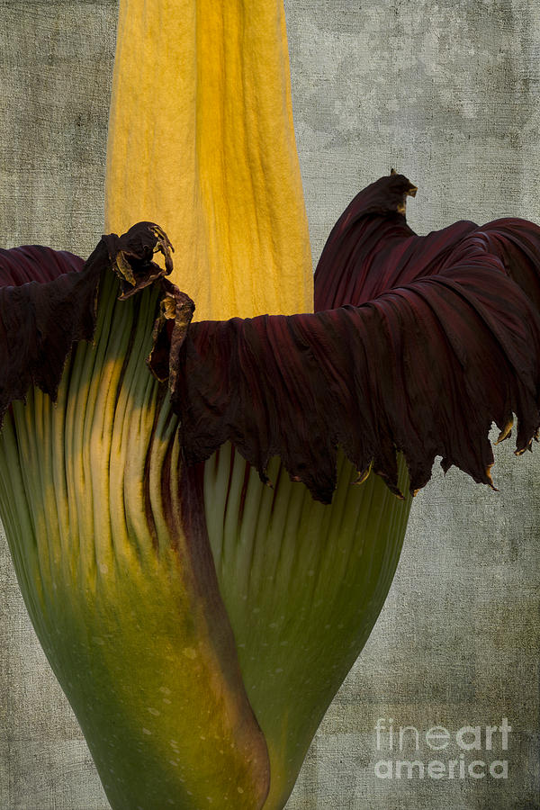 Titan Arum Flower Photograph