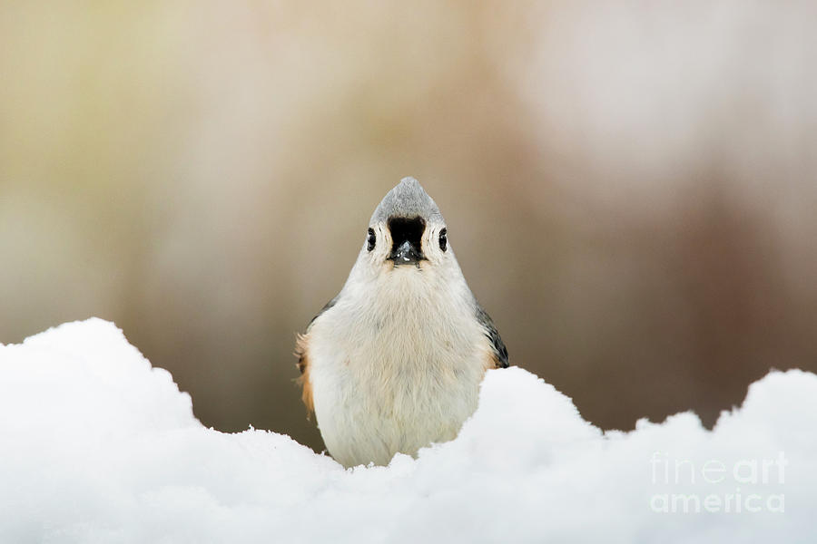 Tufted Titmouse in Snow by Katie Joya