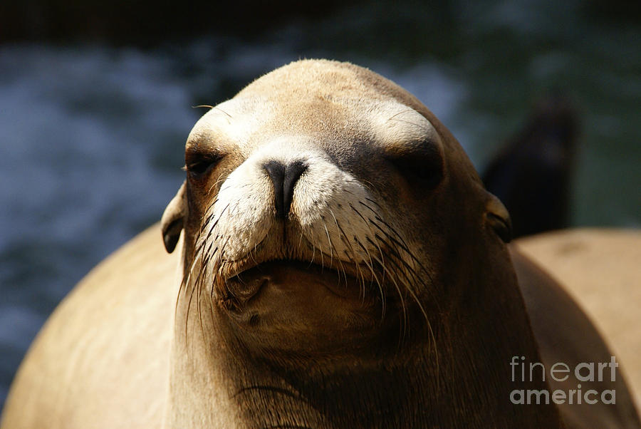 Eared Seal Photograph - To Bask In Royal Sun by Linda Shafer