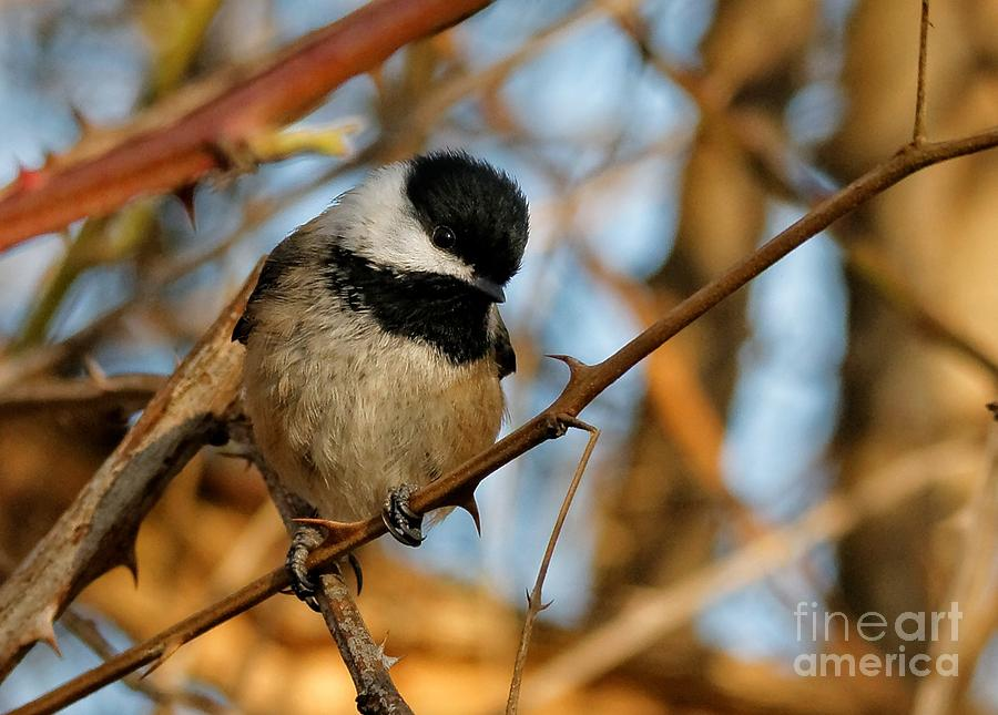Black-capped Chickadee Photograph - To Eat Or Not To Eat That Is The Question by Hui Sim