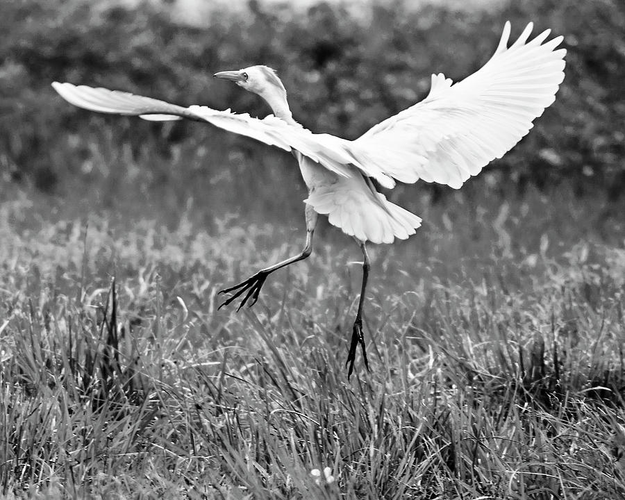 Cattle Egret Photograph - To Greener Pastures BW by Norman Johnson