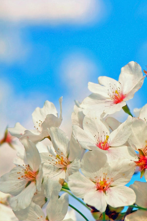 Cherry Blossoms Photograph - To Natures Teachings by Mitch Cat