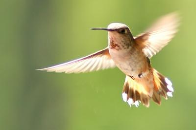 Hummingbird Photograph - To Soar by Misty Alger
