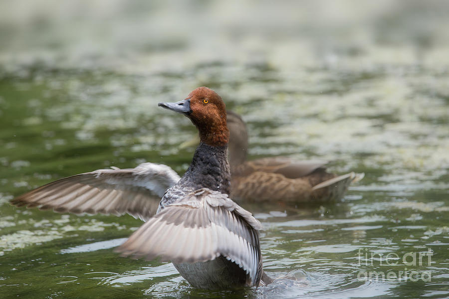 Redhead Duck Photograph - To The Left To The Left by Nikki Vig