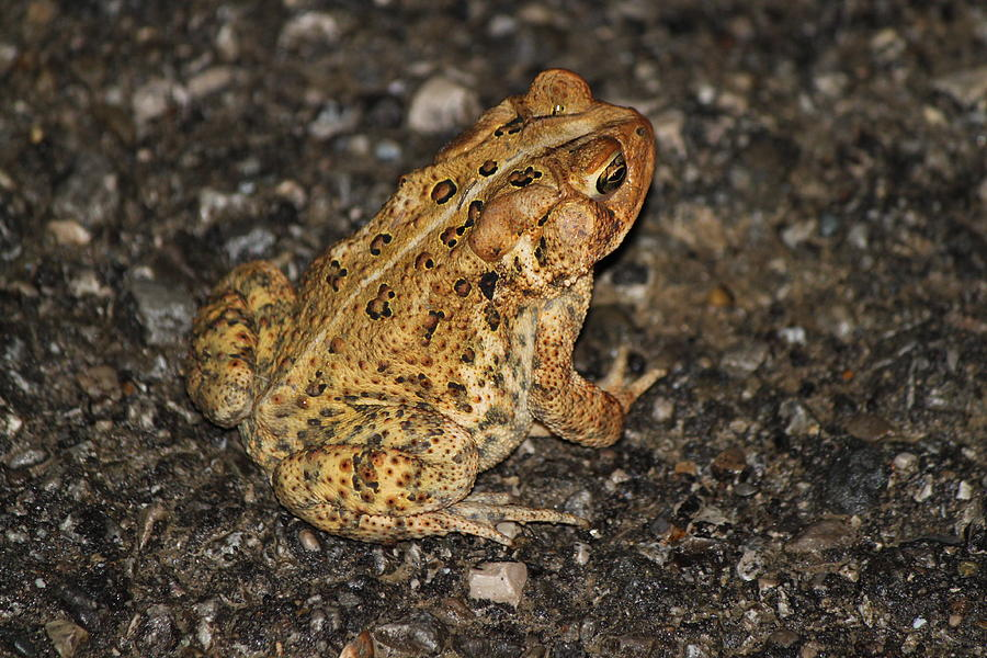toad on the road photograph by alexandra fritsch