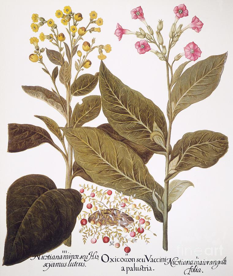 Basilius Photograph - Tobacco Rustica, 1613 by Granger
