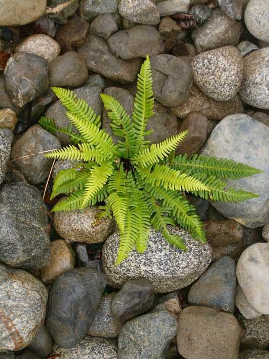 Tofino fern 2 Photograph by Claudia Stewart