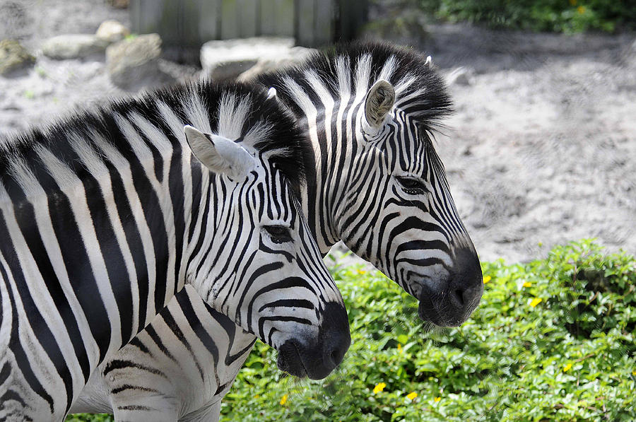 Zebra Photograph - Together by Keith Lovejoy