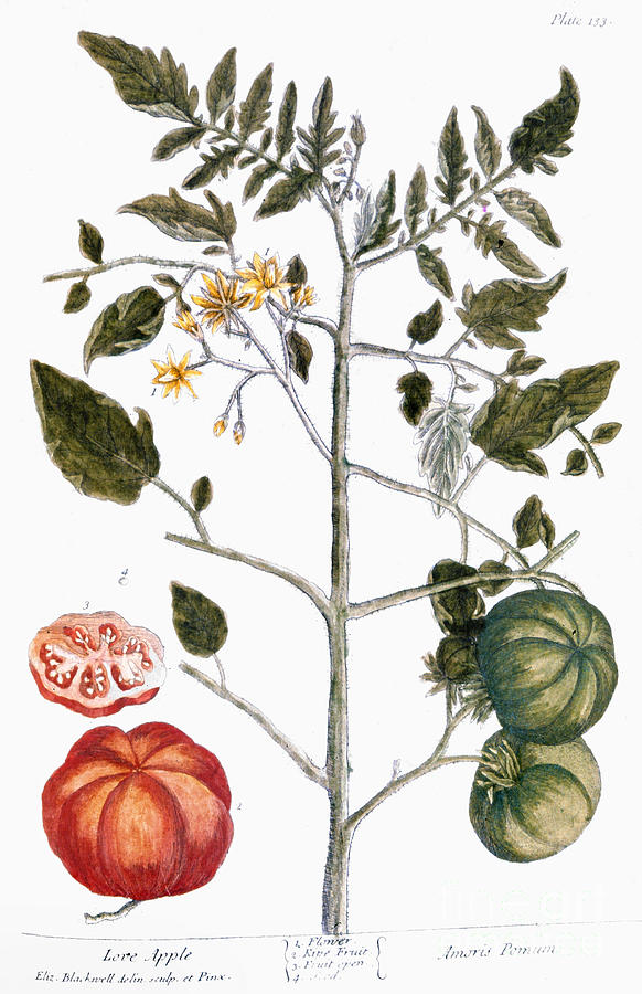 1730s Photograph - Tomato Plant, 1735 by Granger