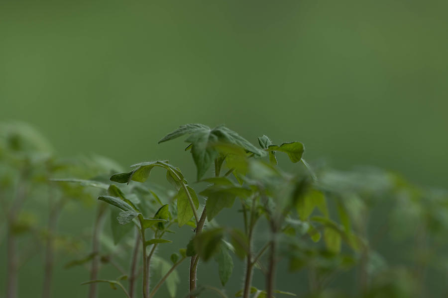 Agriculture Photograph - Tomato seedlings in the morning by Adrian Bud