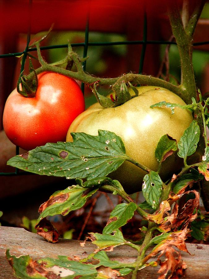 Vegetables Photograph - Tomatoes In Red N Green by Margie Avellino