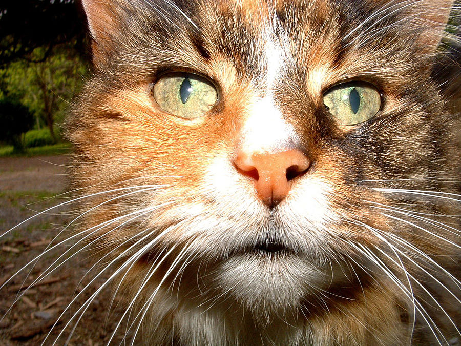 Cats Photograph - Toms Kitty by Don Whipple