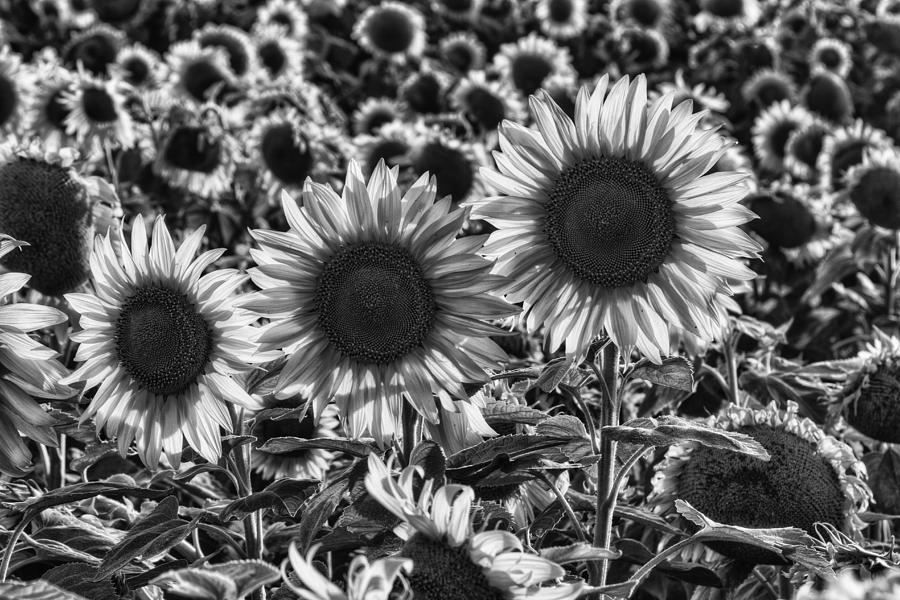 Sunflower Photograph - Tones Of Brilliance by Mark Kiver