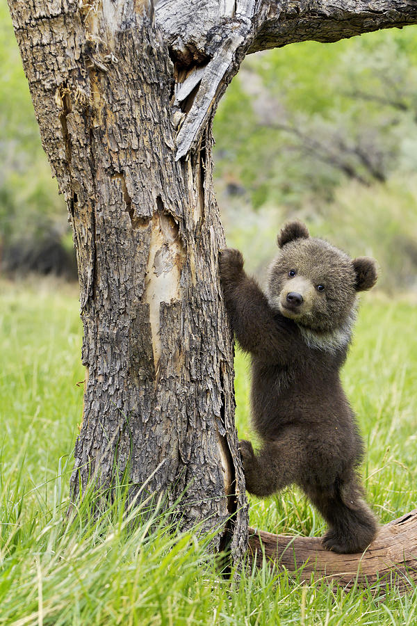Grizzly Bear Photograph - Too cute for words by Melody Watson