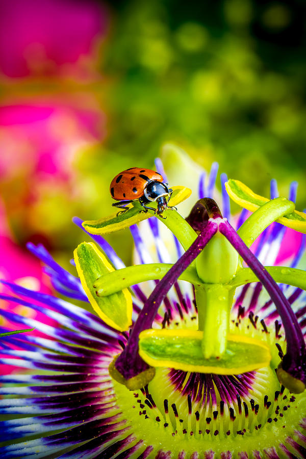 Ladybug Photograph - Too Much Of Heaven by TC Morgan