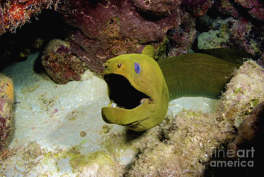 Toothless Green Moray Eel, Nassau, The Photograph