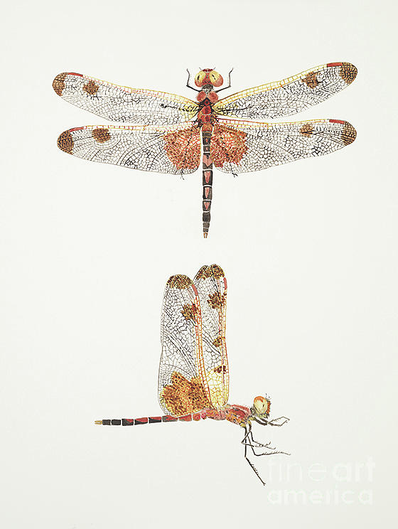 Top and Side Views of a Male Calico Pennant Dragonfly by Thom Glace