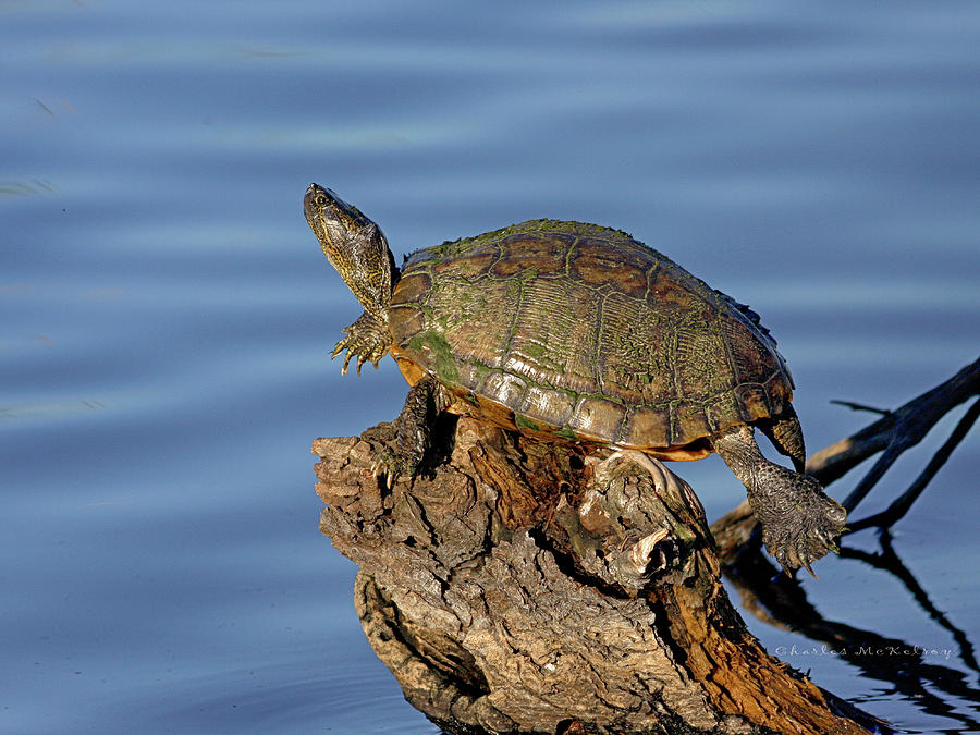 Top Dead Center Turtle by Charles McKelroy