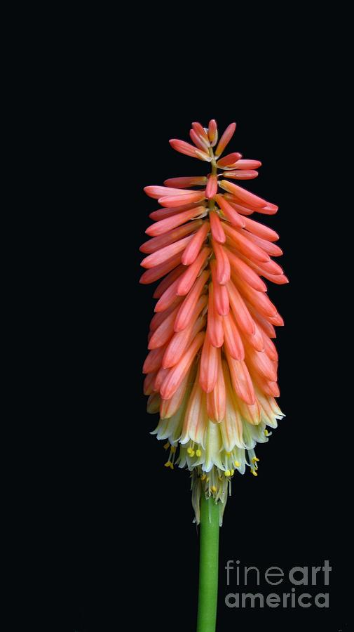 Flower Photograph - Torch Lily by Linda Vespasian