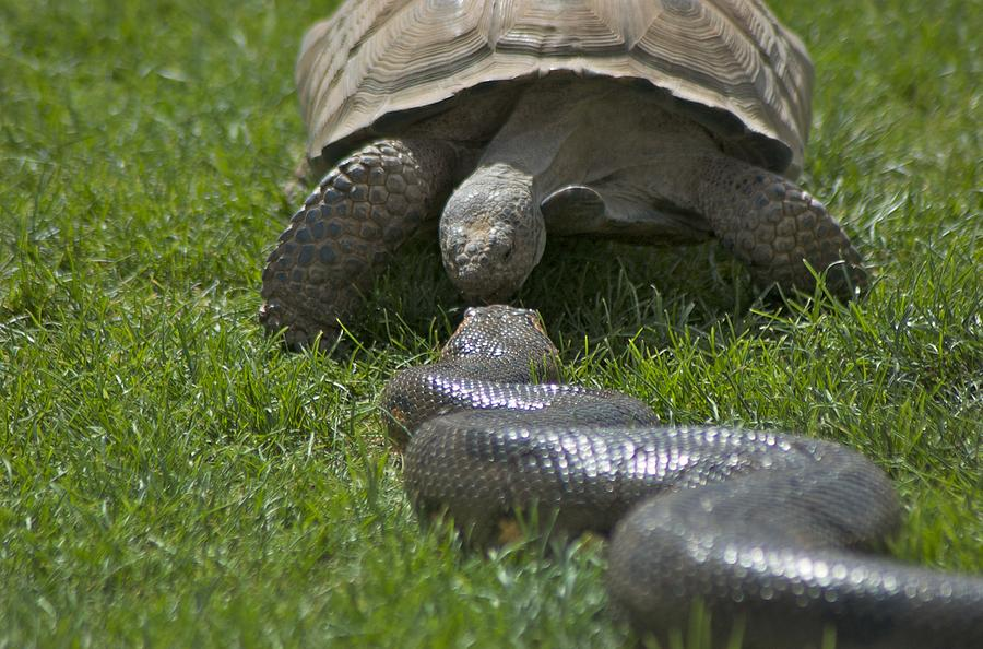 Kissing Photograph - Tortoise Kissing An Anaconda by Susan Heller