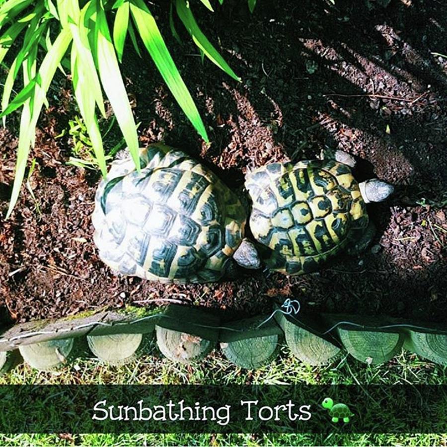 Torts Photograph - #tortoise #torts #sunbathing #garden by Natalie Anne