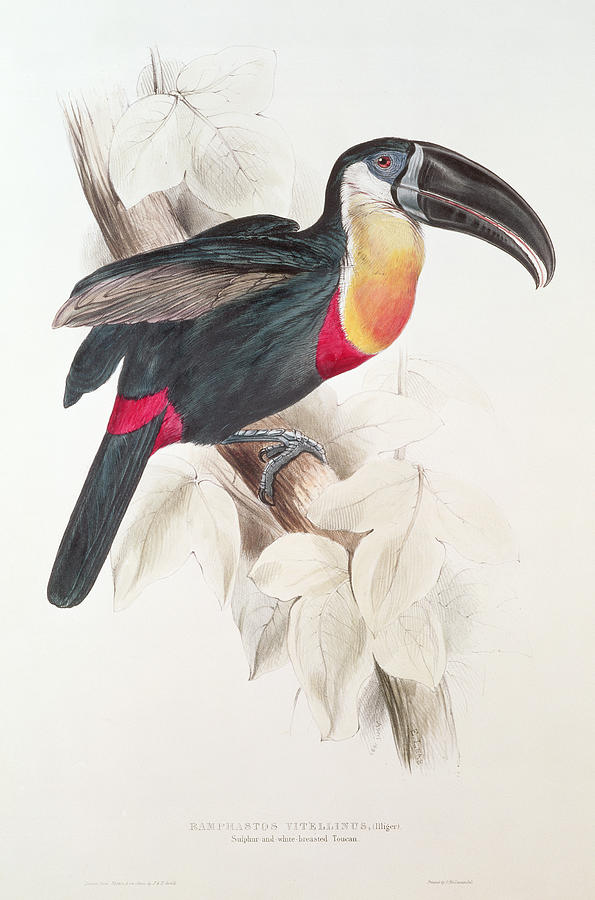 Sulphur Painting - Toucan by Edward Lear