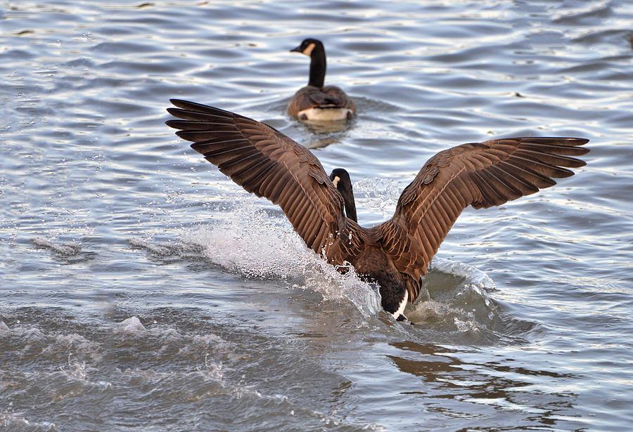 Goose Digital Art - Touch Down by Anita Hubbard