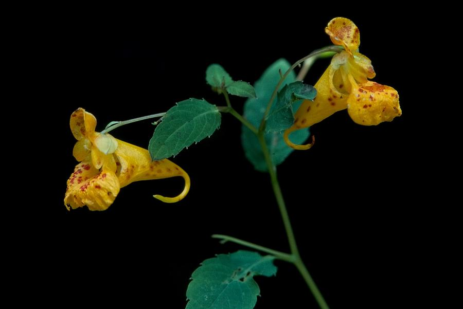 Flowers Photograph - Touch-me-nots by Harley J  Winborn