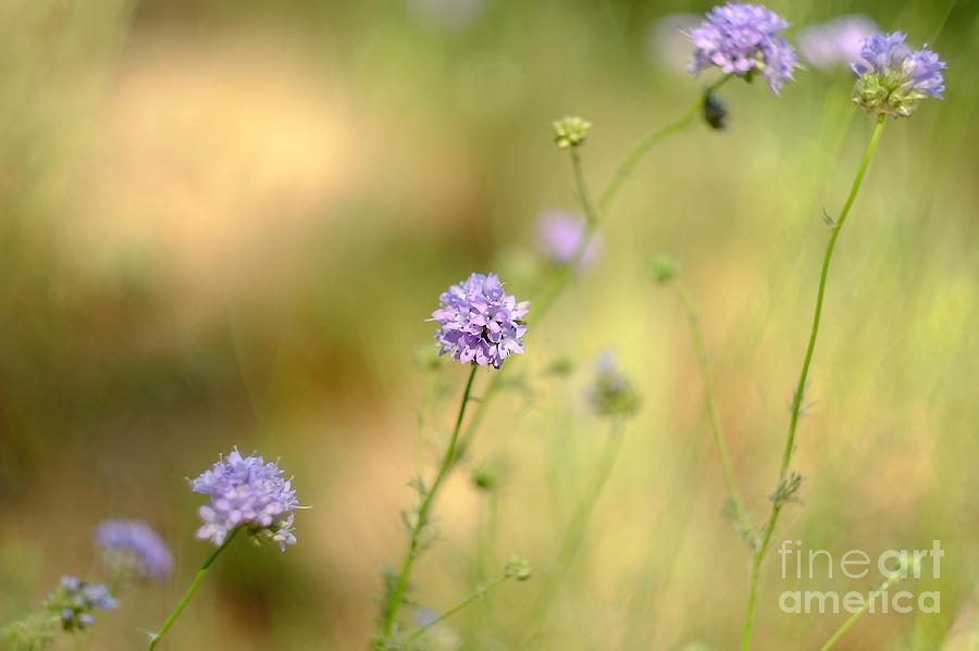 Touch of Lavender Light by Parrish Todd