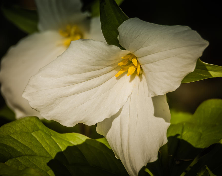 Touched By A Trillium by Terry Ann Morris