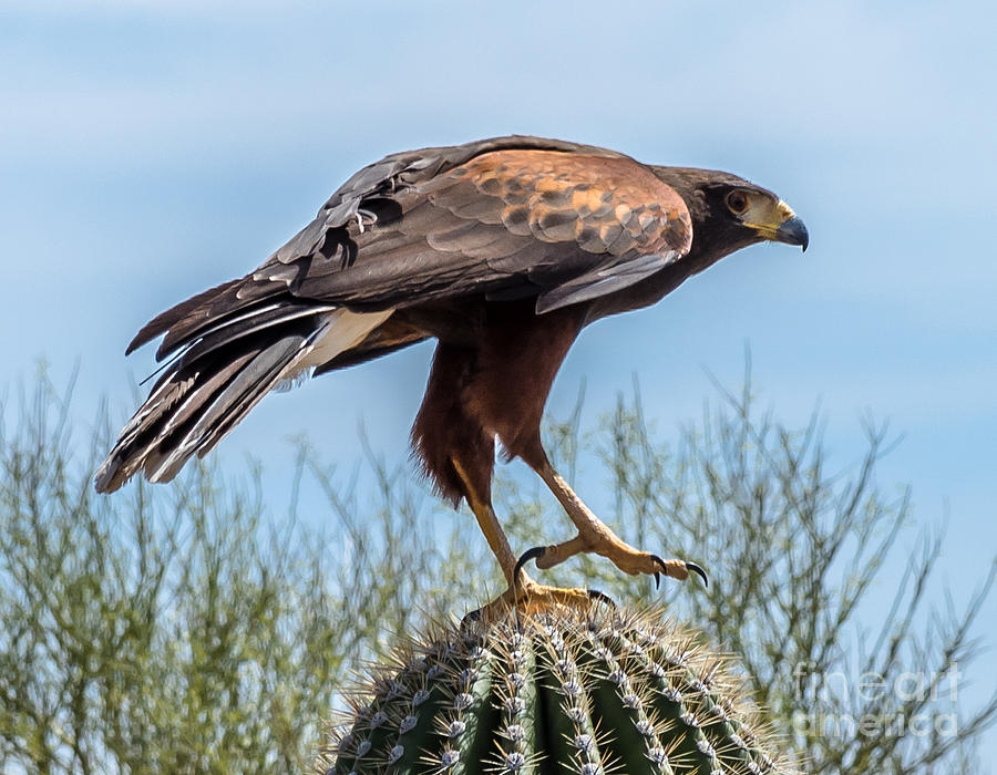 Hawk Photograph - Tough Feet - Desert Hawk by Leo Bounds