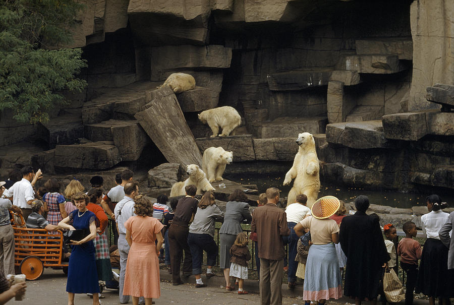 Color Image Photograph - Tourists Watch Captive Polar Bears by B. Anthony Stewart