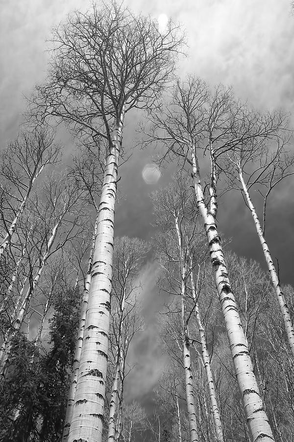 Black photograph towering aspen trees in black and white by james bo insogna