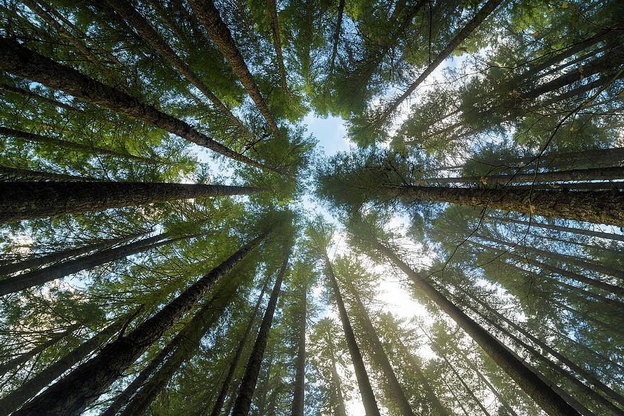 Fir Photograph - Towering Fir Trees In Oregon Forest State Park by David Gn