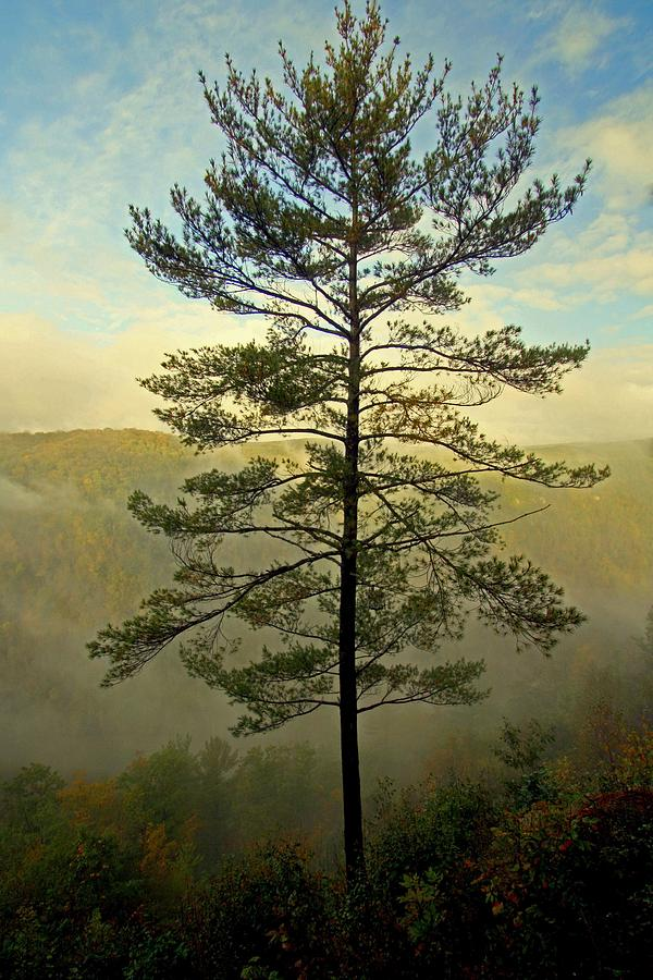 Towering Pine by Suzanne Stout